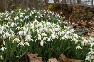 Painshill snowdrops_1