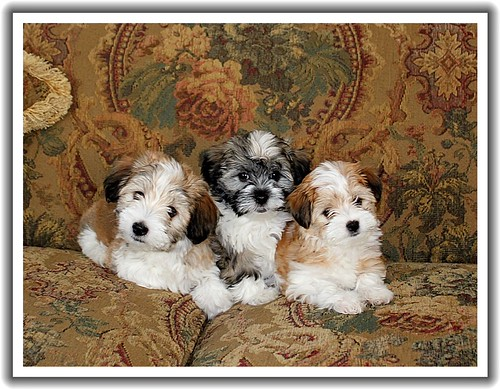 Herbie, Joey, and Pip at 8 weeks