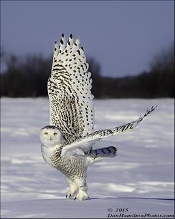 Snowy Owl Female Forums_O7T3944