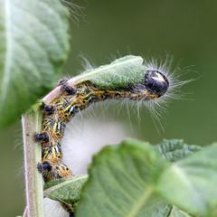 Bufftip moth (Phalera bucephala) Larva 3