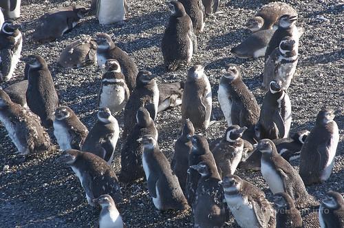 【写真】世界一周 : ビーグル水道(ペンギン生息地)