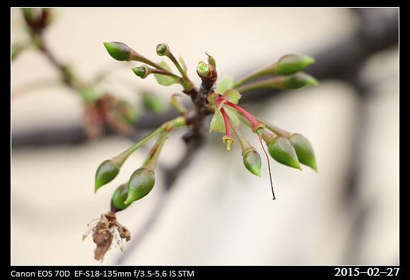 2015_0227Cherry_Blossom6