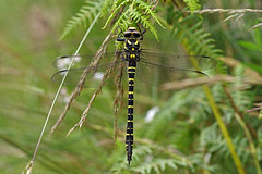 Corduligastridae