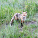 Fox in Crested Butte - [Explore] by duncande150