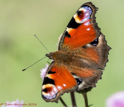 aglais io neitoperhonen peacock nikon dx d5200 tokina 100mm macro vlinder tagfalter farfalla mariposa fjäril sommerfugl liblikas papillion tokina100mmf28atxprod11macro
