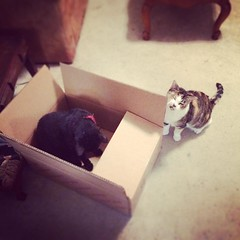 There's something about cats and boxes. #catsofinstagram #blackcats #calicocat #boxesarefun