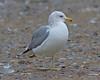 California Gull adult (cycle)