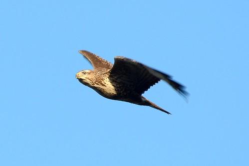 Buzzard Overhead.