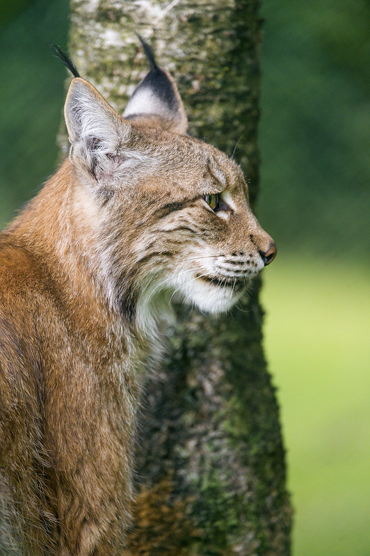 Lynx near the tree