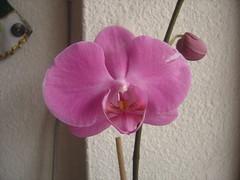 Phalaenopsis Bombay 1