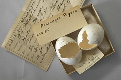 Passenger Pigeon Eggs