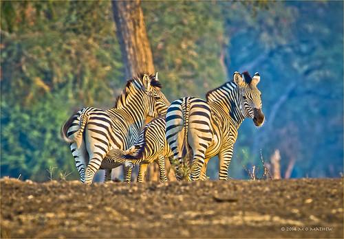 africa safari zimbabwe manapools burchellszebra