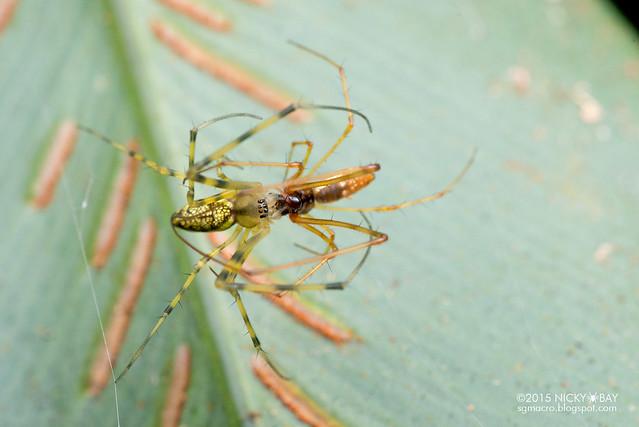 Big-jawed spiders (Tetragnathidae) - DSC_3609