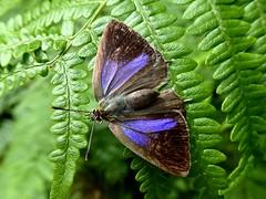 Thécla du chêne - Purple Hairstreak
