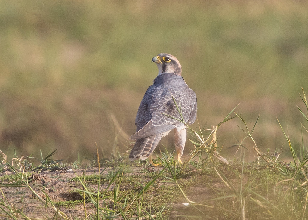 Lanner Falcon   Gambia