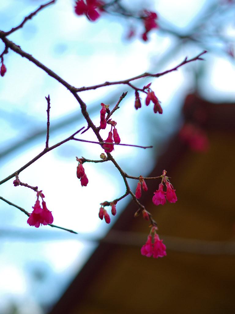 風中緋櫻, 南投賞花