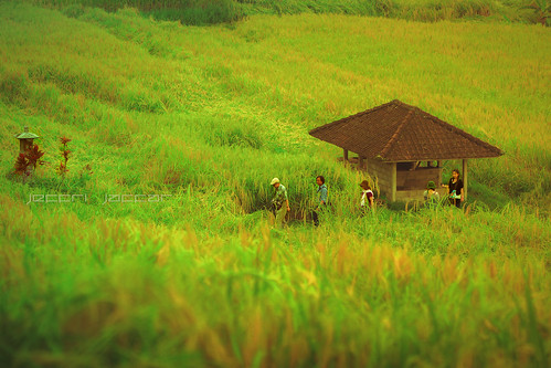 bali indonesia landscape asia riceterraces paddyfield balinese padifield penebel ef70200mmf28liiusm canon1dx