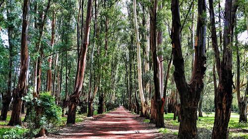 Bosque de Eucalyptus