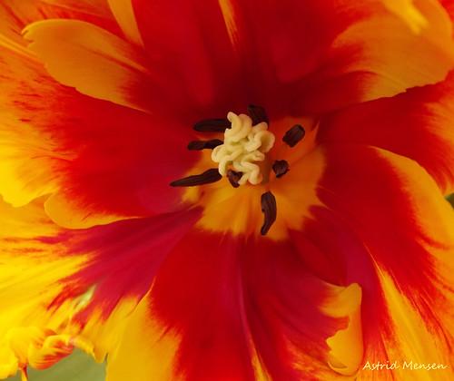 Tulp rood geel, gemengd