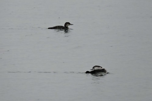 Common Loon #55