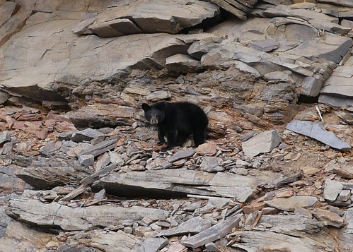 Photo of black bear on hillside