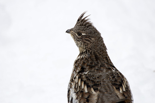 Prairie Chicken or pinnated grouse, Prince Albert National Park