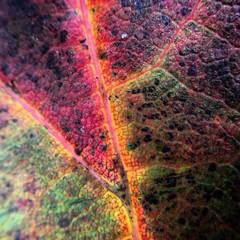 Crazy colours of decay. Autumn leaf. #patterns #decay #colour #devon #autumnal #autumn coloursofautumn #macro #camkix #ipad