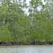 Small photo of Mangroves (Sonneratia sp.)