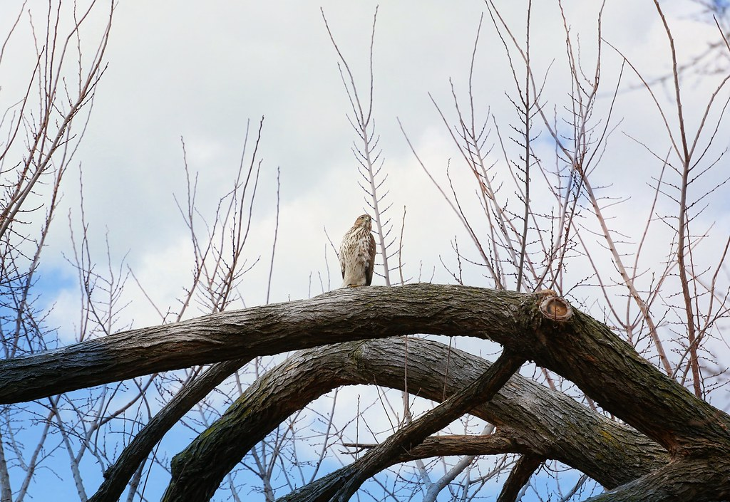 Christmas Cooper's hawk in Tompkins Square