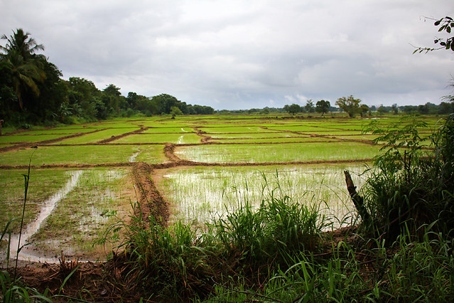Paddy field near Polonnaruwa