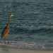 Grayton Beach Heron_