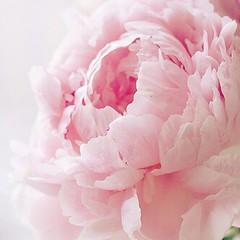 #pink #peony #flower #beautiful #morning
