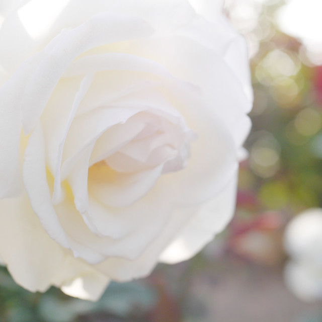 Photo:Rose, Imagine, バラ, イマジン, By T.Kiya