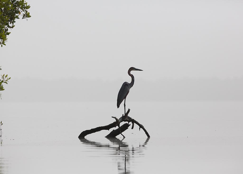 Goliath Heron  Gambia