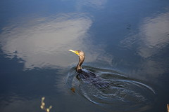 DOUBLE-CRESTED CORMORANT #2