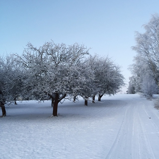 The old apple trees in winter suit
