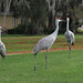 Sandhill cranes by Up Nort