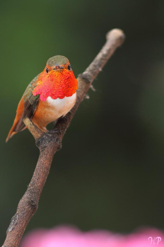 Allen's Hummingbird 260215