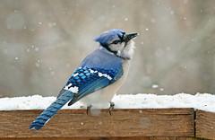 branch(0.0), crow-like bird(0.0), animal(1.0), winter(1.0), wing(1.0), fauna(1.0), bluebird(1.0), blue(1.0), blue jay(1.0), beak(1.0), bird(1.0),