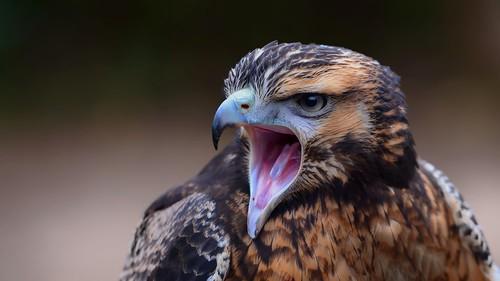 Shouty Bird