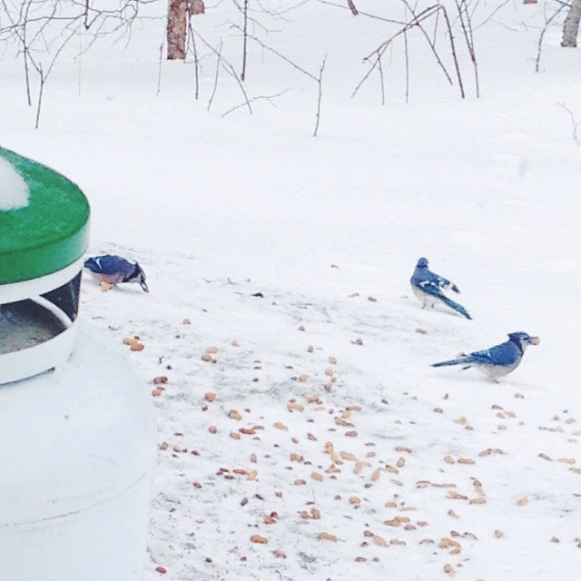 I flung out some nuts and seeds to the bare spots among deep snow drifts. Now I'm watching the blue jays trying to stuff as many peanuts in their beaks as they are able. #birdnerd #wildlife