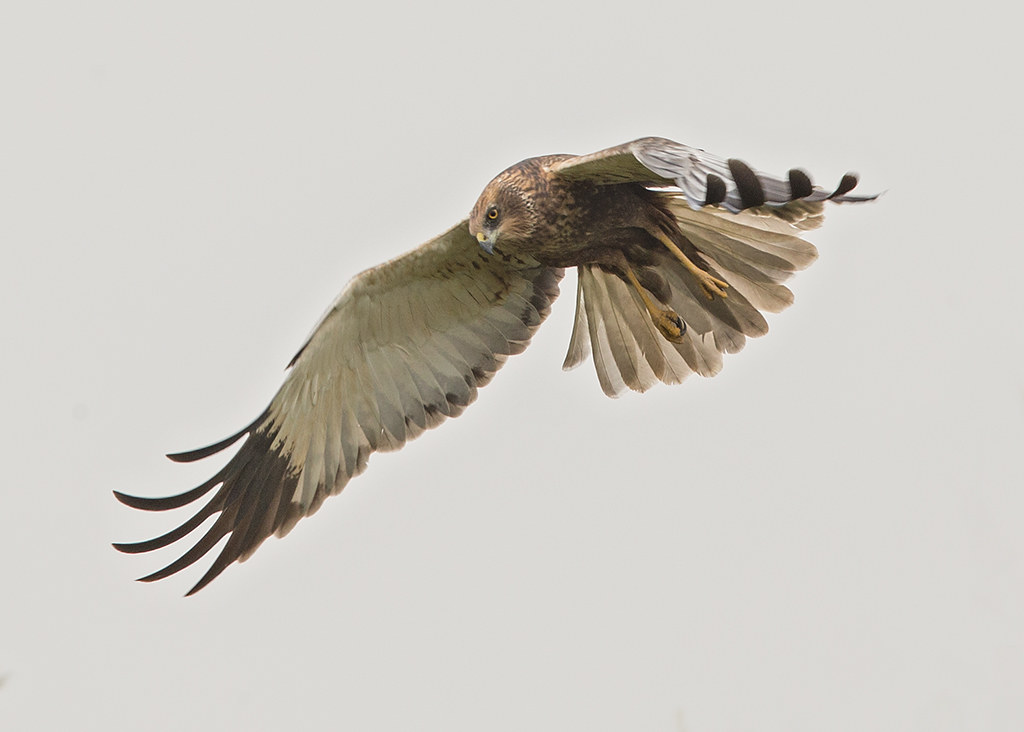 Marsh Harrier  Gambia