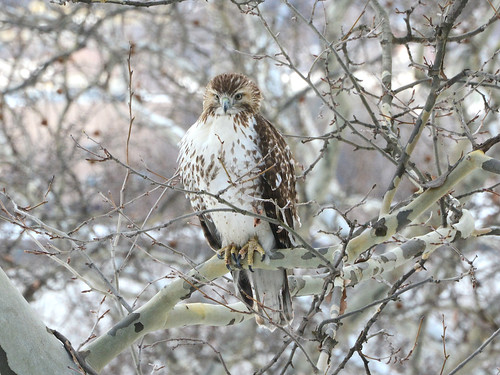 Young Riverside Red-Tail - 4948