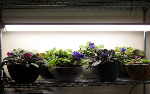 Sub-irrigated Planters (SIPs) Under 4' LED Shop Lights