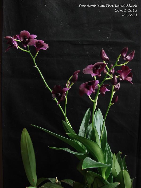 Dendrobium Thaïland Black (type Phalaenopsis) 16546112742_15aca4725a_c