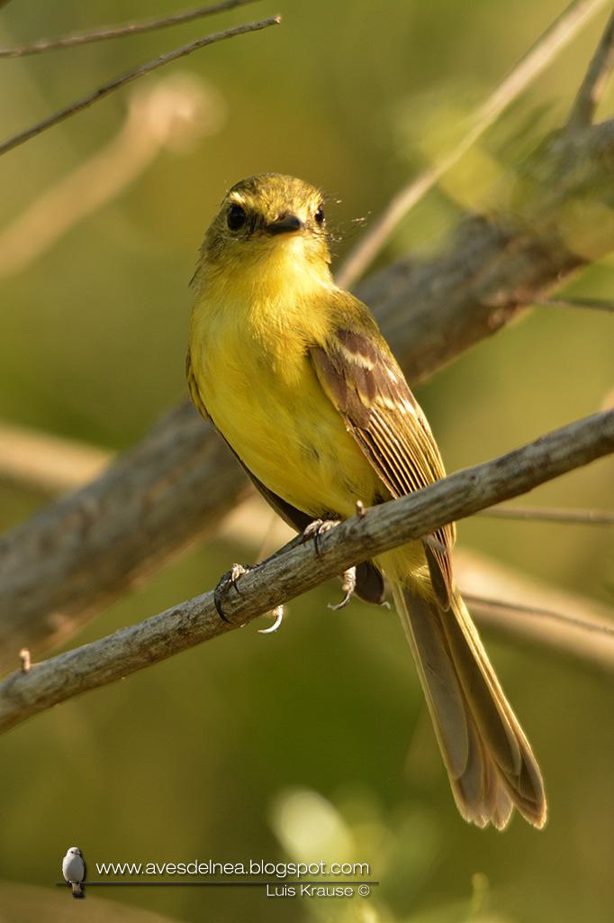 Mosqueta ceja amarilla (Yellow Tyrannulet) Capsiempis flaveola