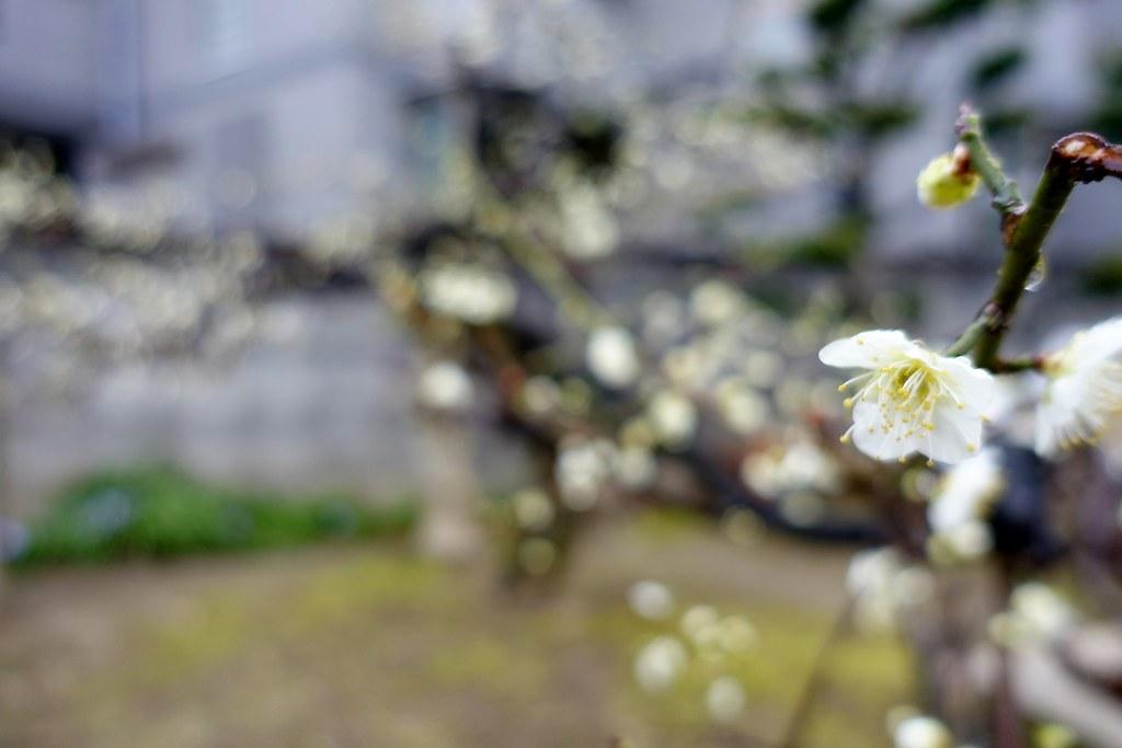 The flower of plum in Nanao Tenjin Shinto Shrine 2015/02 No.2.
