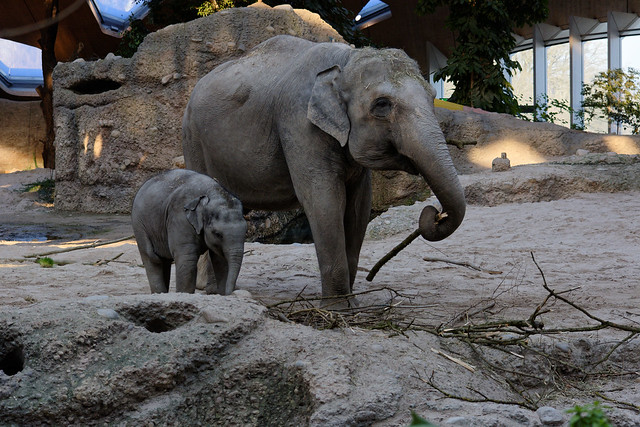 Asian Elephants (Cow & Calf), Zurich Zoo