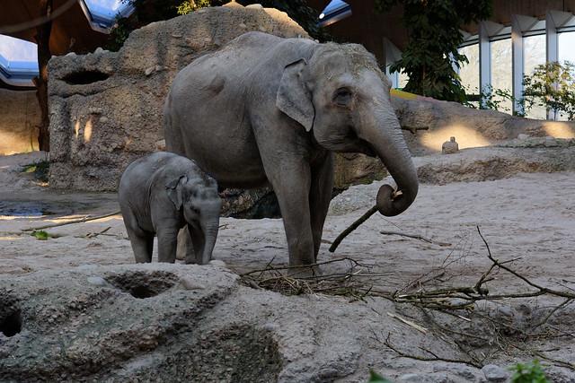 Asian Elephants (Cow & Calf), Zurich Zoo