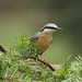 Nuthatch by large.copper